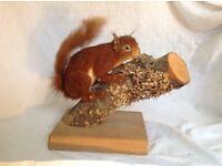 Stuffed red squirrel taxidermy