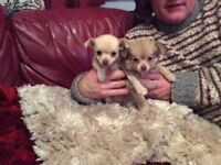 Chihuahua girl puppies both parents can be seen pet homes only