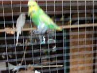 Budgies for sale £8 to £10 each