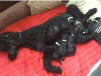 BLACK Standard Poodle Puppies (Now Only Boys Available).