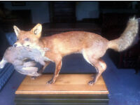 Fox with the kill...taxidermy