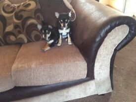 Two stunning boy chihuaua uppies for sale
