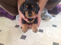 3 Smooth Haired Daschund Puppies Ready to be Reserved