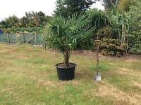 Chusan Palm Trees Large 43 Litre Trachycarpus Fortunei For Sale.