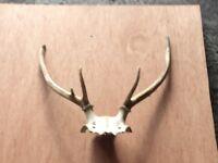 Nice set deer antlers