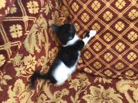 Two Black Kittens 12 Weeks Old.