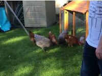 5 Chickens + Coop + food etc for sale