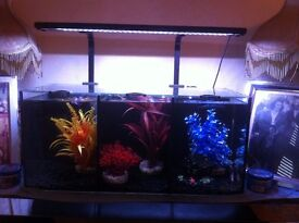 betta fish (simese fighting fish with complete set up
