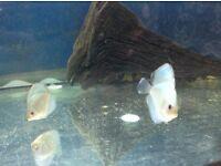 Tropical fish - Discus