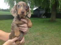 Stunning Miniature Dachshund Puppies for sale
