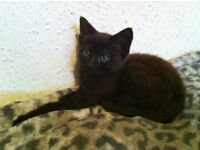 GORGEOUS and FRIENDLY 8 weeks old BLACK/BROWN FEMALE KITTEN for sale to LOVING and CARING HOME