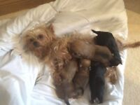 For sale Yorkshire terrier cross Maltese puppies (morkie)