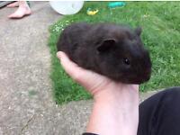 Fuzzy baby guinea pig