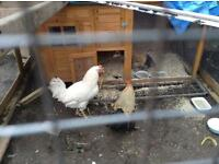 2 chickens Cockerel and hen for sale