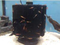 Tropical red shrimps
