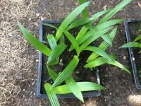 Trachycarpus Fortunei Palm Seedlings trays of For Sale.