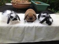 Pretty Baby Minilop Rabbits