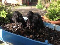 F1. CockaPoo pups for sale