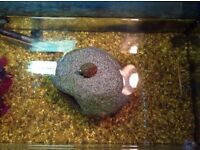 2 razorback turtles for sale, plus tank, exo terra glow lamp, UVB lamp, filter, heater and ornaments