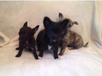 Baby chihuahua puppies