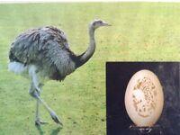 Rhea,s. Eggs.