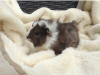 Beautiful baby Guinea pigs both sexes available