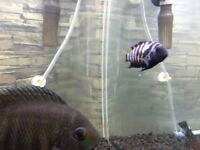 2 convict cichlids+2 hoplo catfish