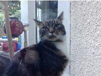 Found female tabby cat