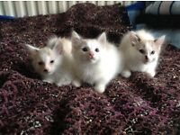 Three mixed Siberian and Siamic kittens