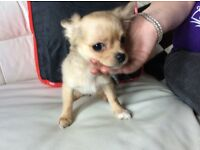 Beautiful KC Reg Female Chihuahua Puppy £695