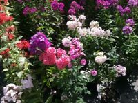 Phlox Paniculata 4 Litre Large Plants many colours For Sale.