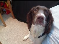 Springer Spaniel, Dexter is 6 months old. Very friendly and great nature.