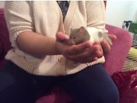 Male Syrian hamster plus cage