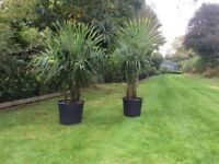Palm Trees Hardy Multi-Stemmed Trachycarpus Fortunei Trees For Sale.
