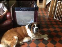 KC reg rough coated Saint Bernard pups. Ready now.