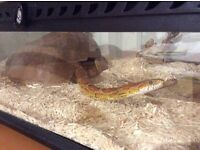 Female corn snake aged 7 years old.