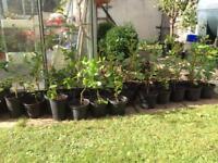 Hedging plants Griselinia evergreens
