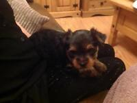 Female Yorkshire terrier puppy for sale