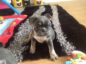 Kc reg frenchbull dog puppy