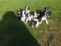 Border Collie Puppys