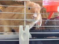 Tabby light tan bunny rabbit 6 months old