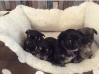 One cute boy chihuahua left fluffy long haired. Ready to go Wednesday.