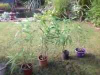 4broad leaf arrow bamboo plants