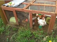 4 laying hens