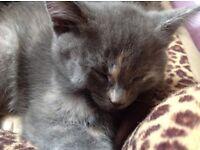 Ragdoll cross oriental kittens