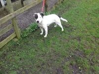 Staffordshire bull terrier x English bull terrier