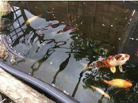 2 koi carp 14 inches long plus 5 good size smaller fish