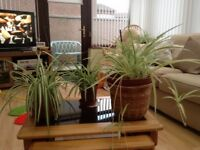 Indoor Spider plants free to collect