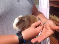 6 baby Guinea pig boars looking for new homes