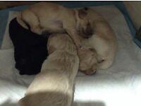 Beautiful F1B GOLDENDOODLE pups